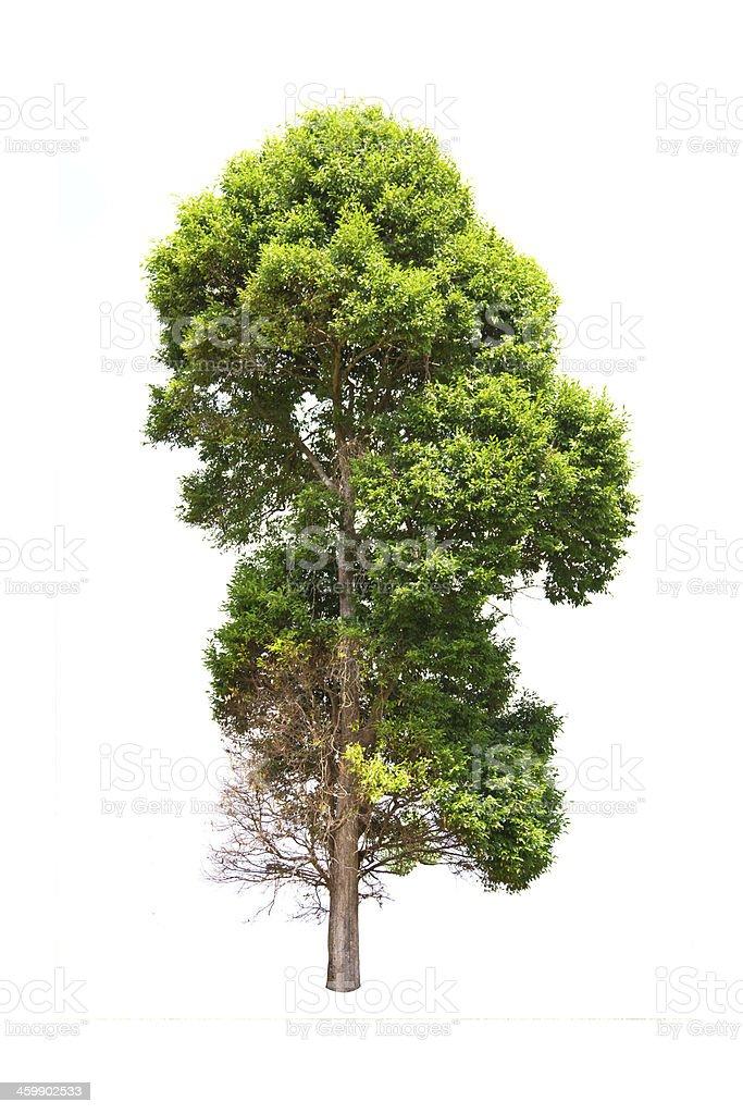 Irvingia malayana tree isolated on white background stock photo