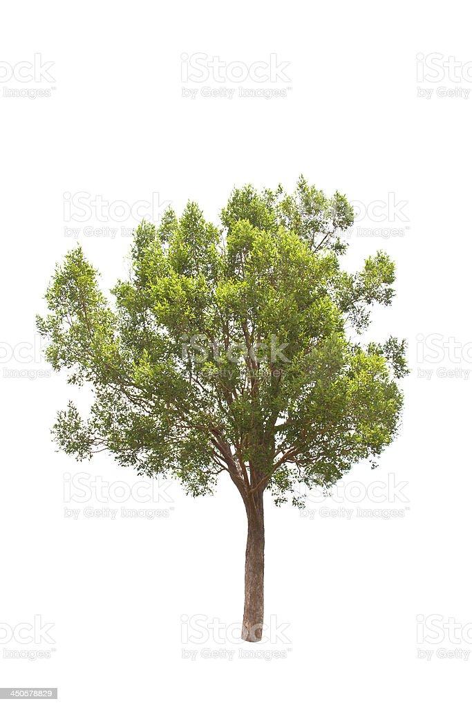 Irvingia malayana tree, Lagerstroemia macrocarpa Wall or Kayu isolated stock photo