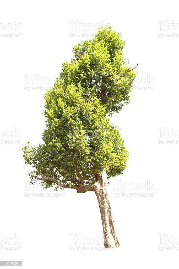 Irvingia malayana tree on white background stock photo