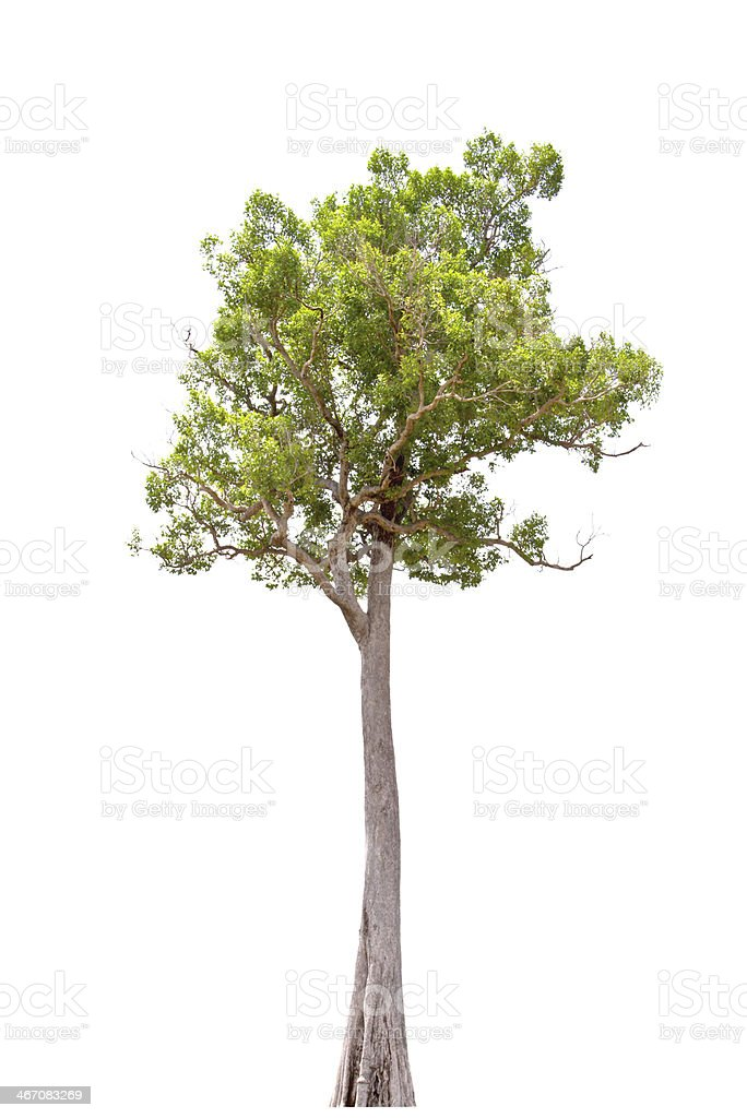 Irvingia malayana, tropical tree in the northeast of Thailand stock photo