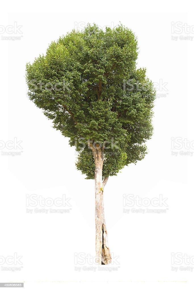 Irvingia malayana tropical tree  isolated on white background stock photo