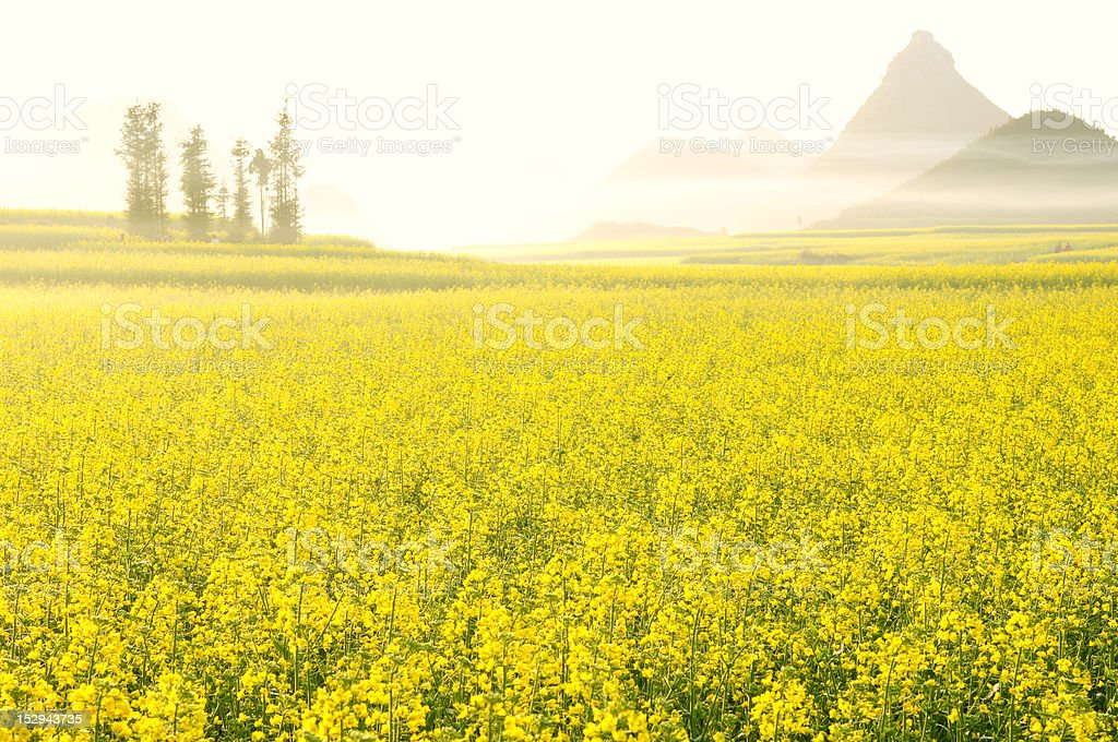 Is blossoming rape royalty-free stock photo