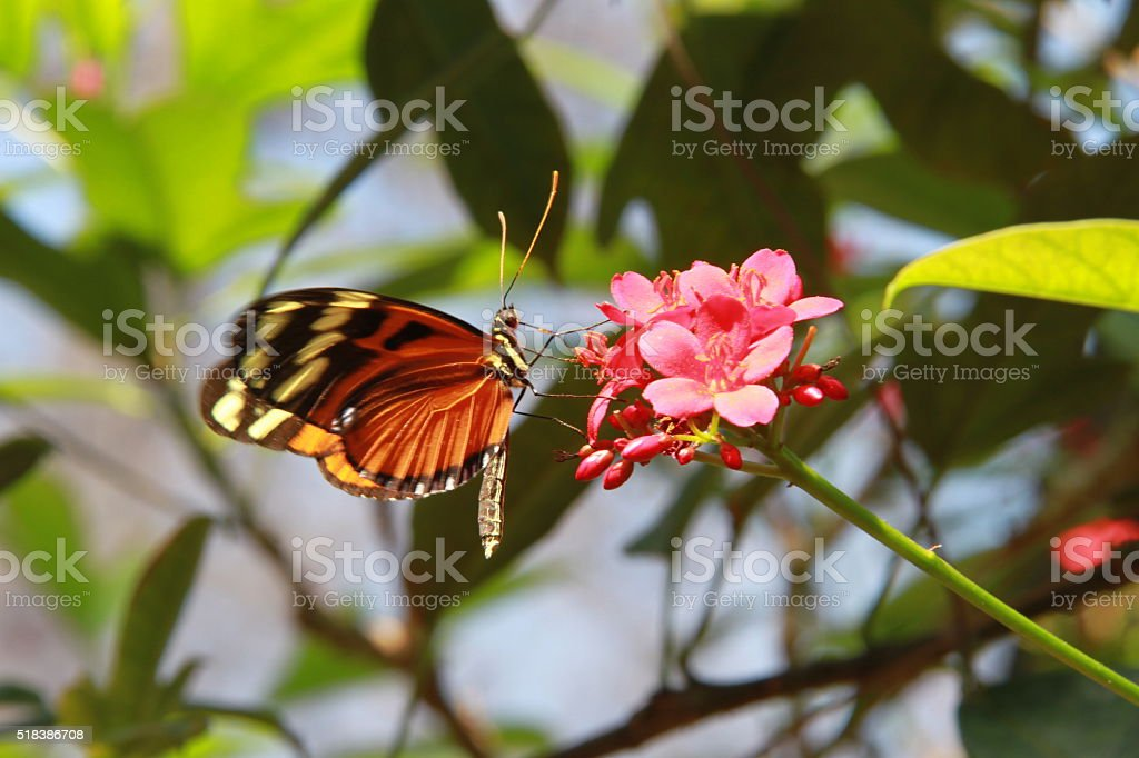 Isabella Tiger Butterfly on Pink Flowers stock photo