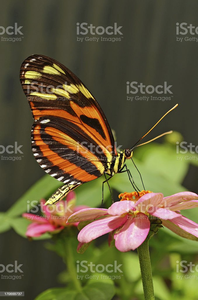 Isabella Tiger Butterfly stock photo