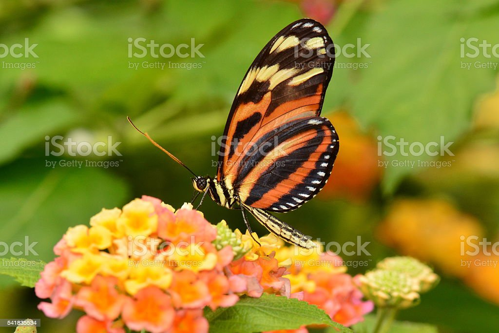 Isabella Tiger longwing butterfly stock photo
