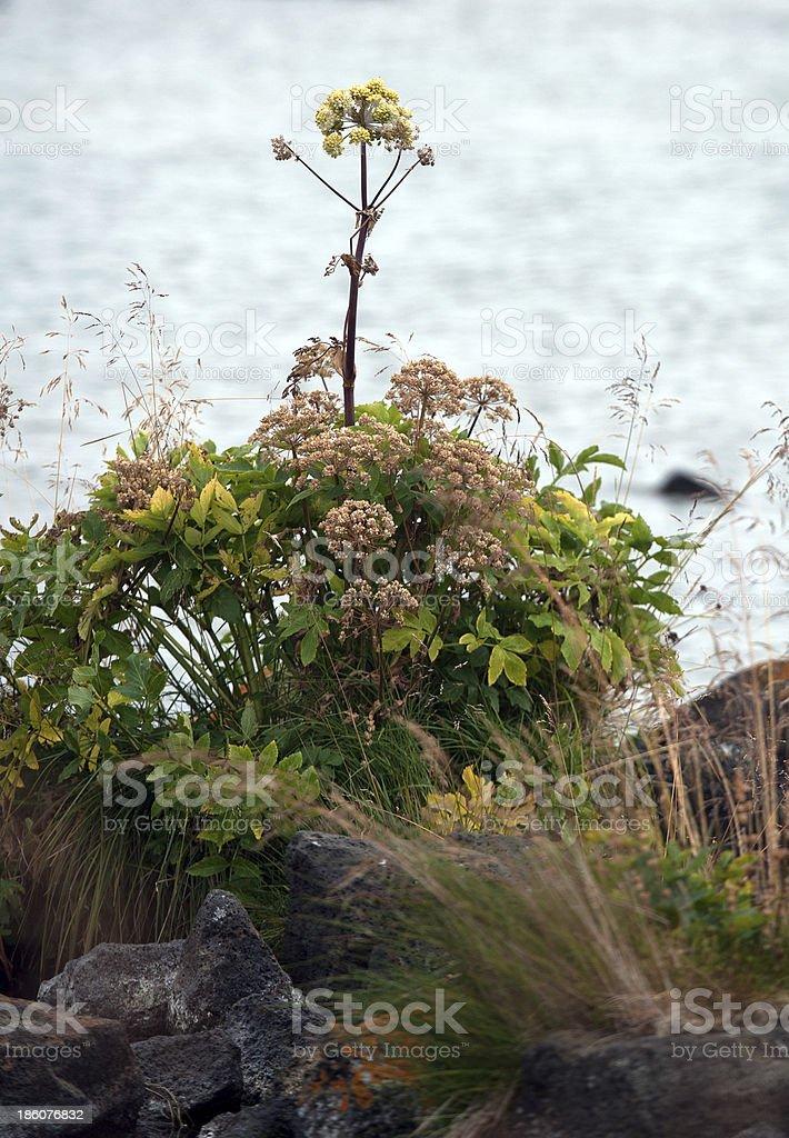 Island - Der Nordosten, Engelwurz stock photo