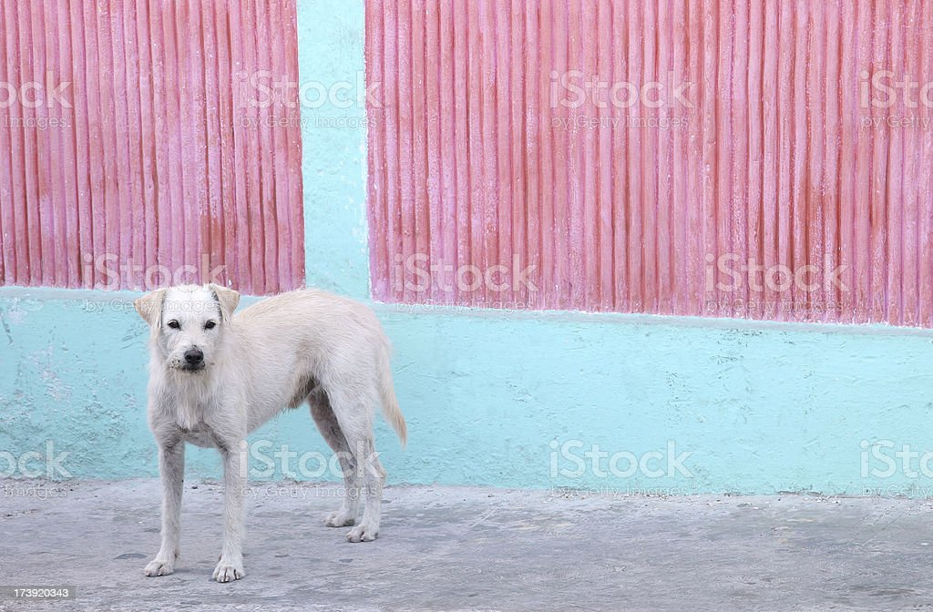 Island dog with pink and turquoise wall stock photo