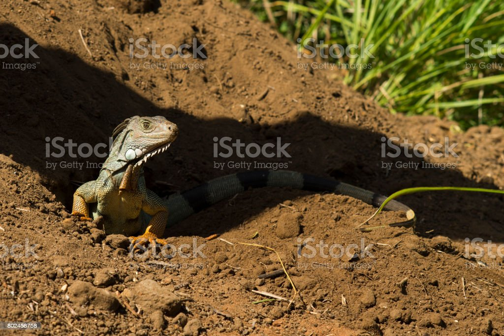 Island Lizard stock photo