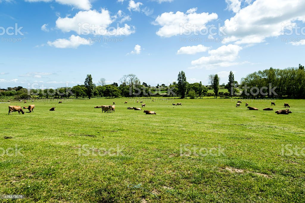 island of jersey cows on pasture stock photo