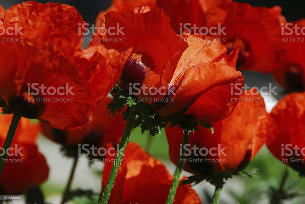 Island poppies close royalty-free stock photo