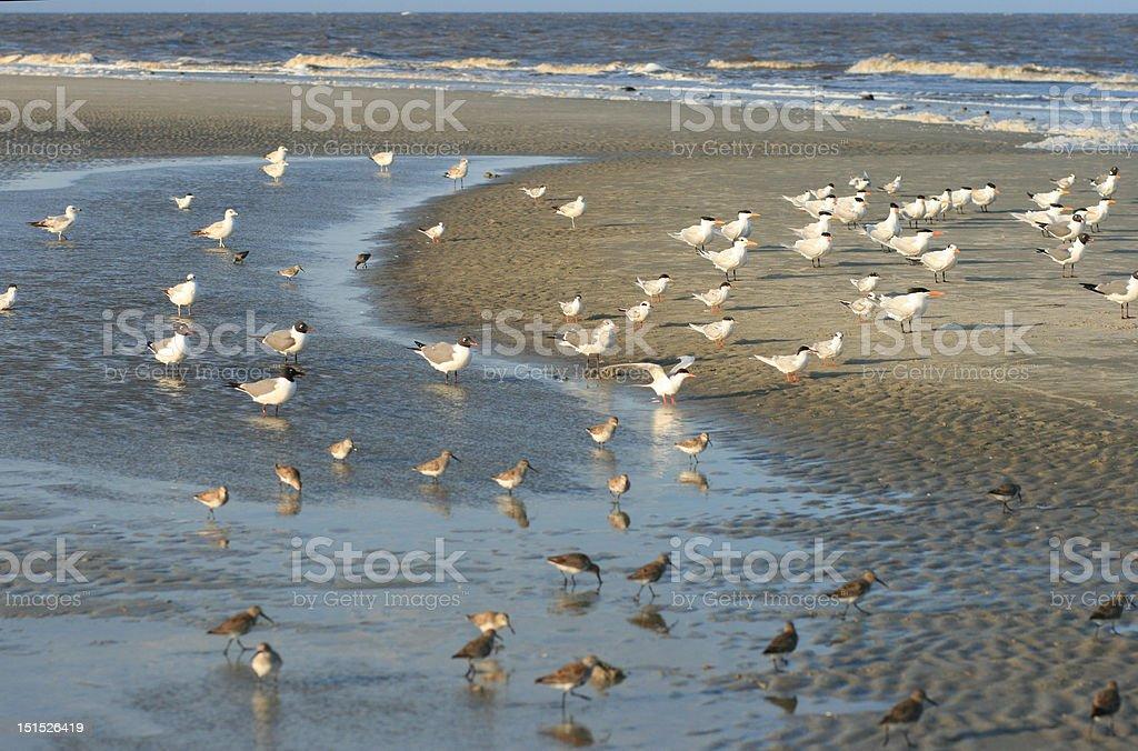 Island Terns royalty-free stock photo