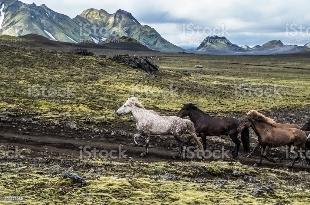 islandic horses stock photo
