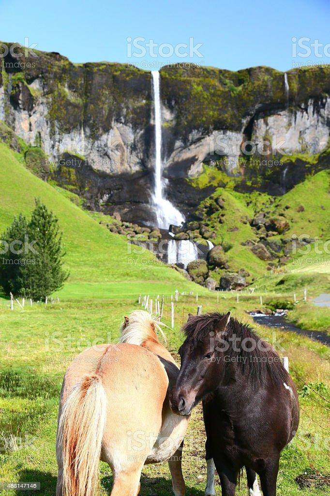 Islandpferde stock photo