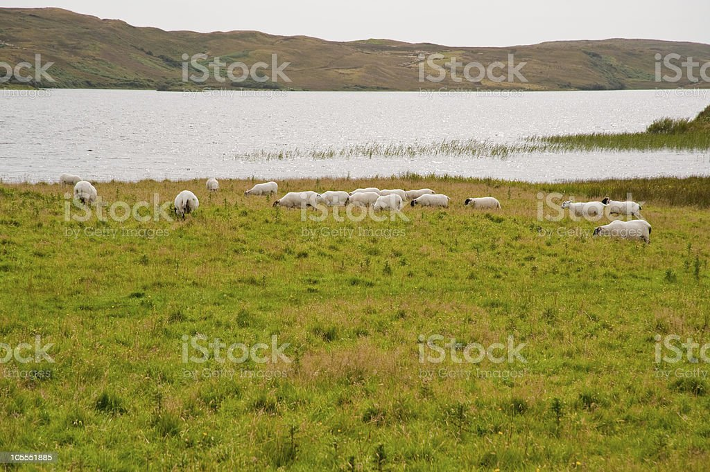 Islay sheep stock photo