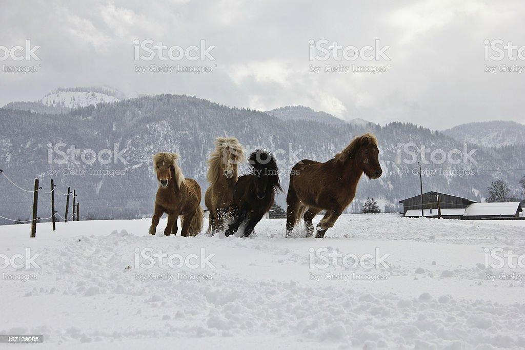 Isllander-Herde im Schnee stock photo