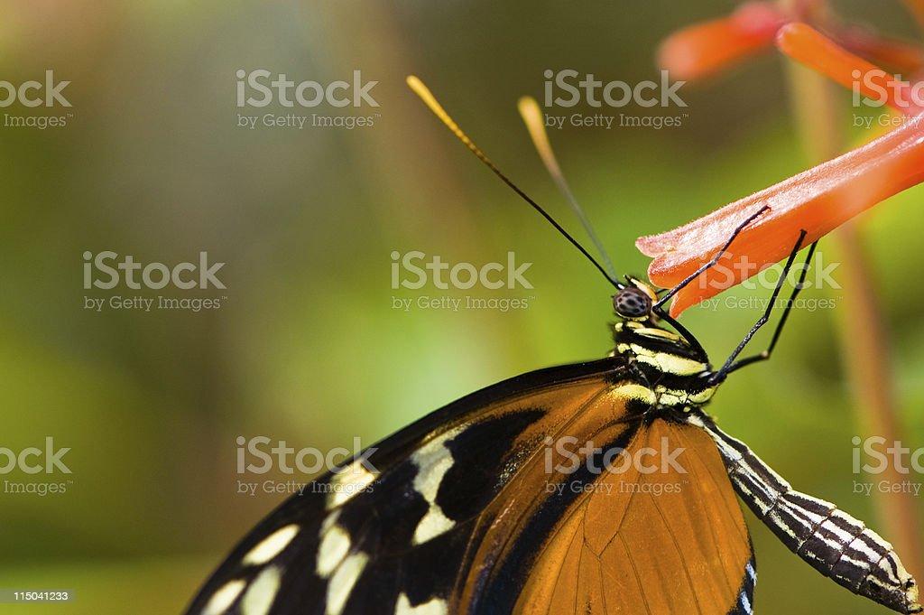 Ismenius Longwing butterfly  (Heliconius ismenius) feeding on an stock photo