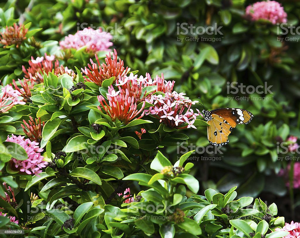 Isolate Ixora with butterfly which teared wings stock photo