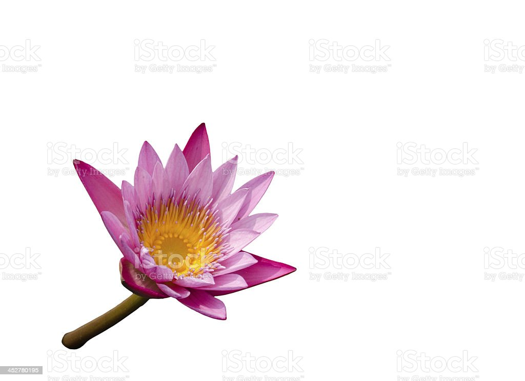 Isolate of Pink Lotus stock photo
