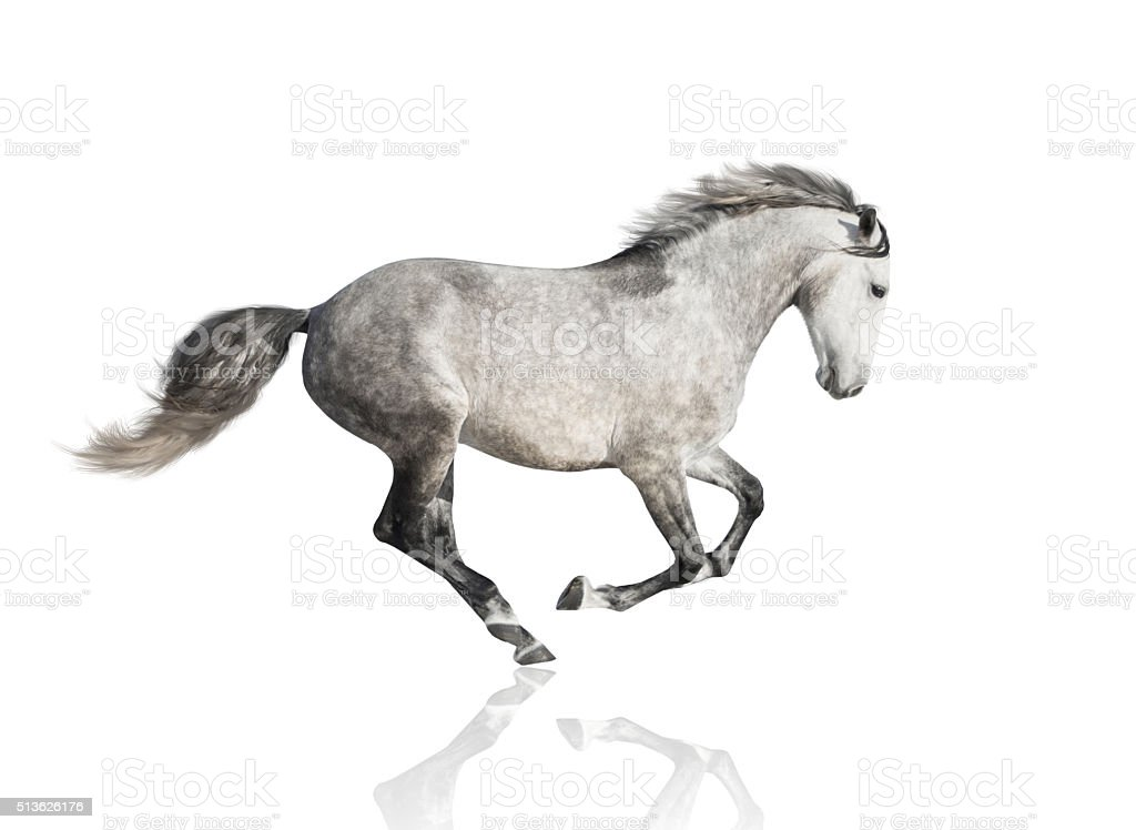 isolate of the gray horse on the white background stock photo
