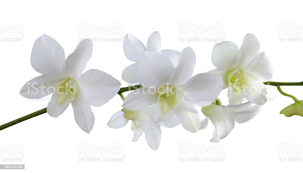 Isolate white orchids stock photo