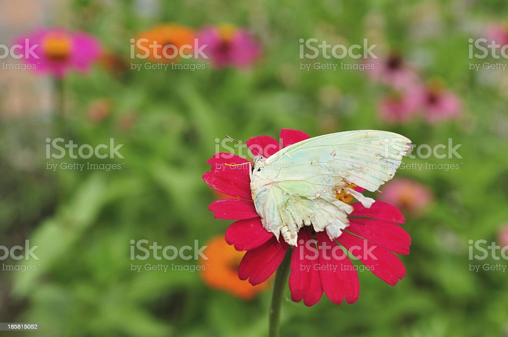 Isolate zinnia with butterfly which teared wings stock photo