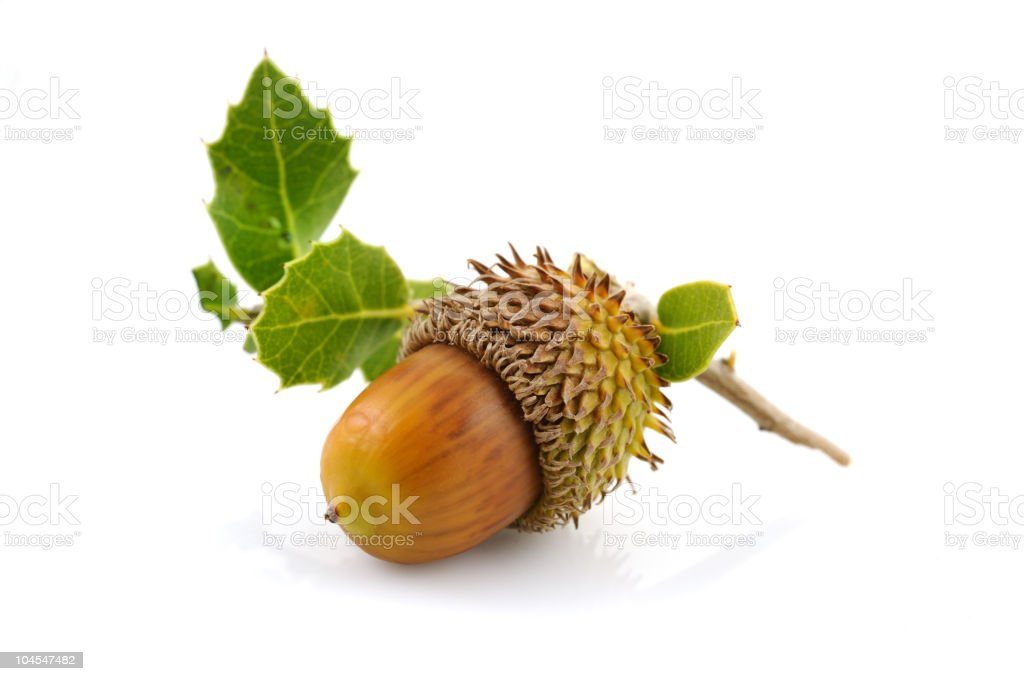Isolated acorn with leaves stock photo