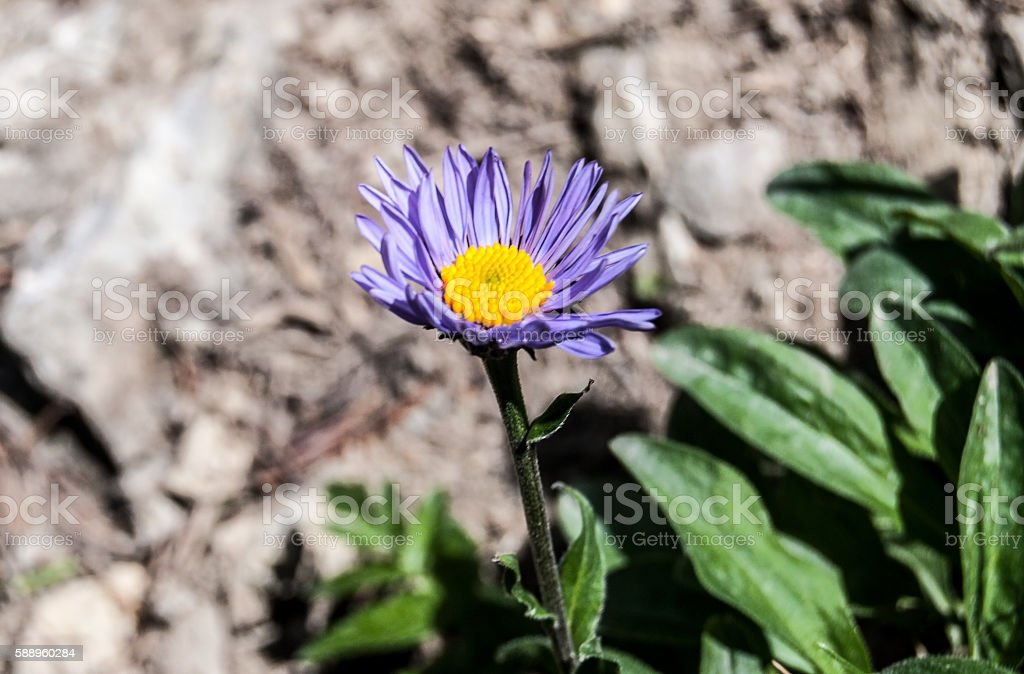 isolated alpine aster flower stock photo
