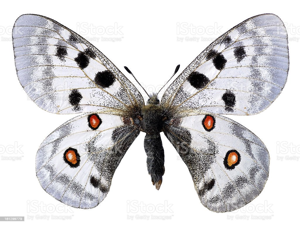 isolated Apollo butterfly stock photo