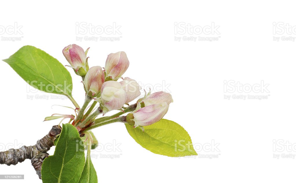 Isolated apple blossom stock photo