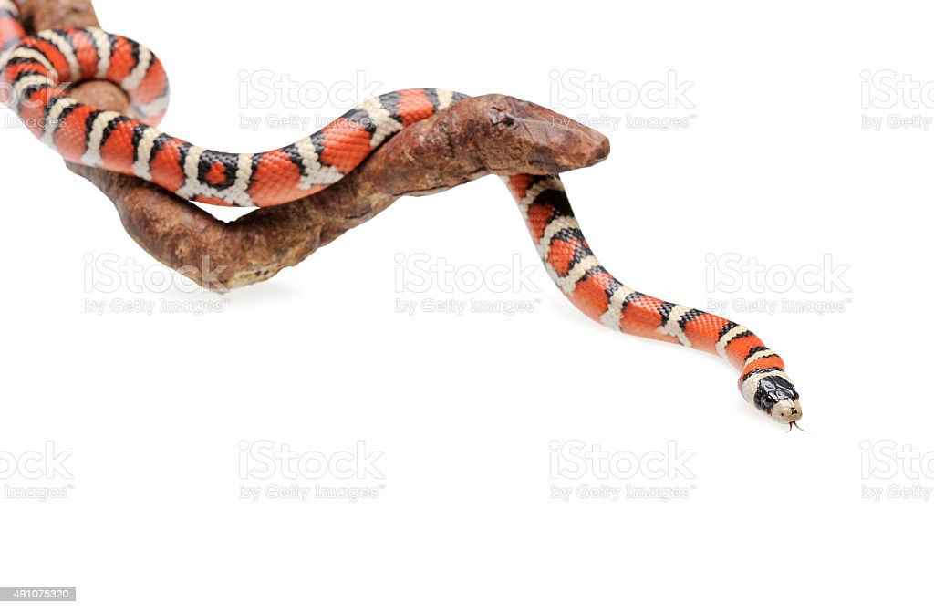 Isolated Arizona mountain kingsnake on branch stock photo