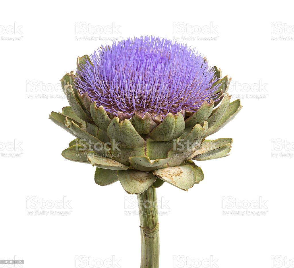 Isolated artichoke at white backgound royalty-free stock photo