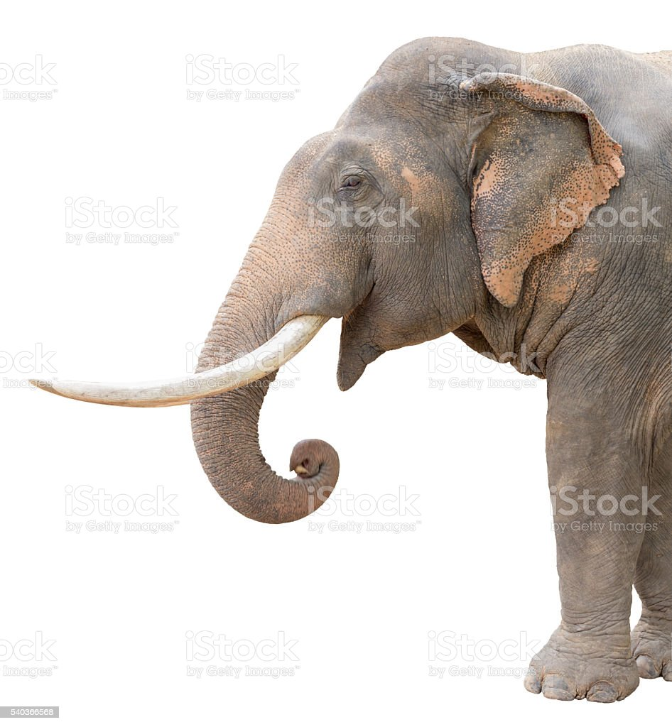 isolated asia elephant stock photo