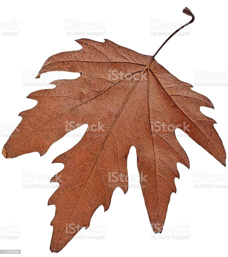 isolated autumn leaf royalty-free stock photo