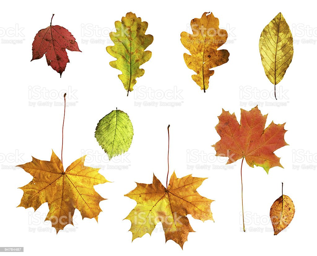 Isolated autumn leaves on white background royalty-free stock photo