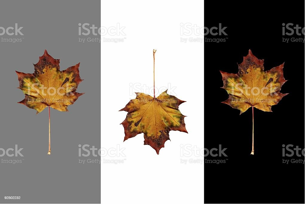 Isolated Autumn Maple Leaves on Black, White and 50% royalty-free stock photo