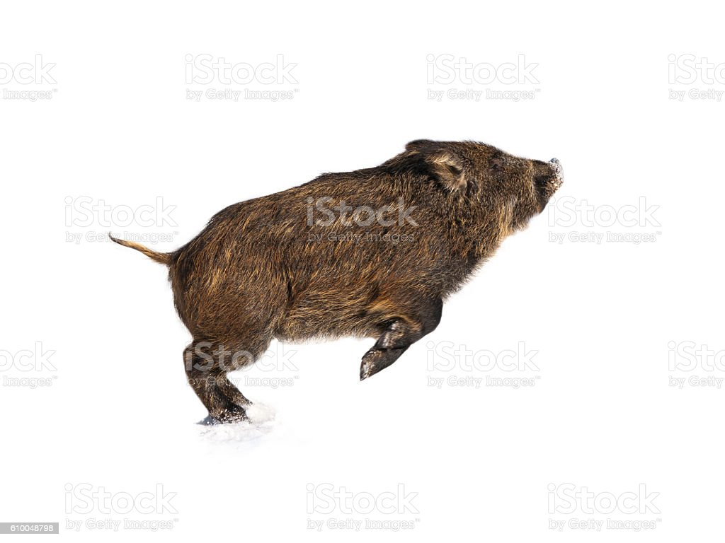 Isolated Baby boar playing stock photo