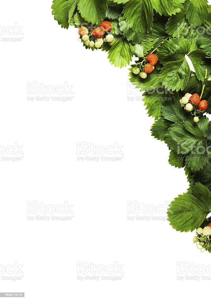 Isolated background  leaves and fruits of strawberry royalty-free stock photo