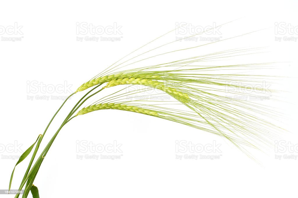 Isolated barley on white background stock photo