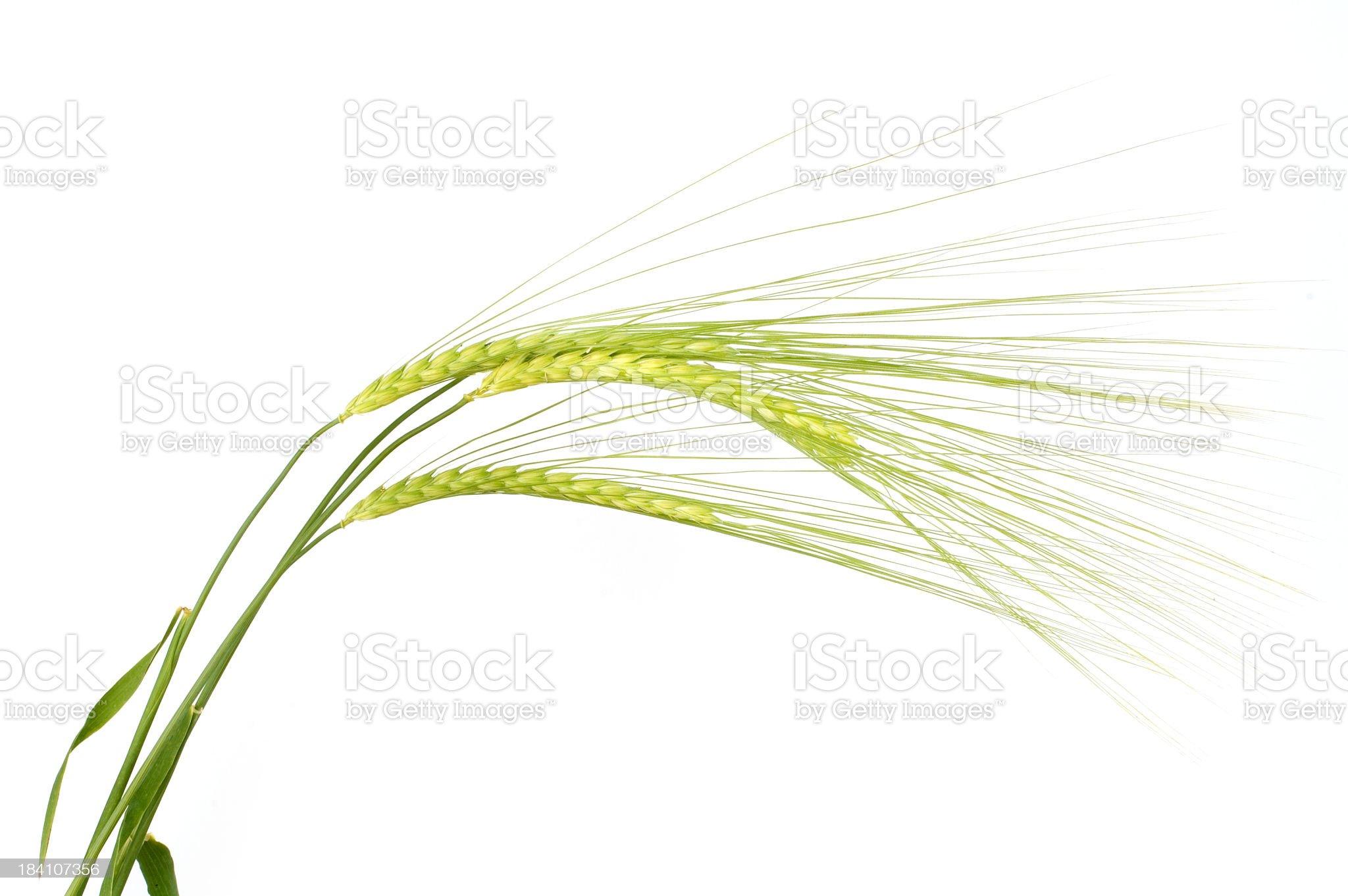 Isolated barley on white background royalty-free stock photo