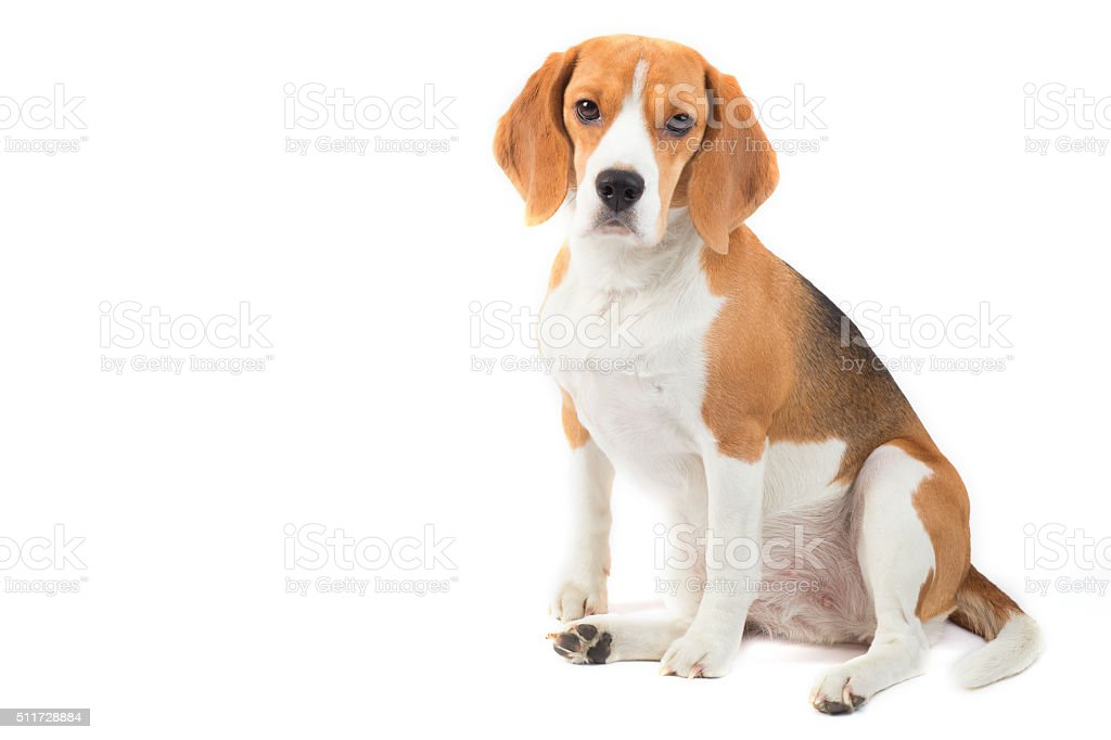 Isolated beagle dog portrait stock photo