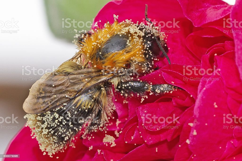 Isolated Bee covered in pollen on a red hollyhock flower stock photo