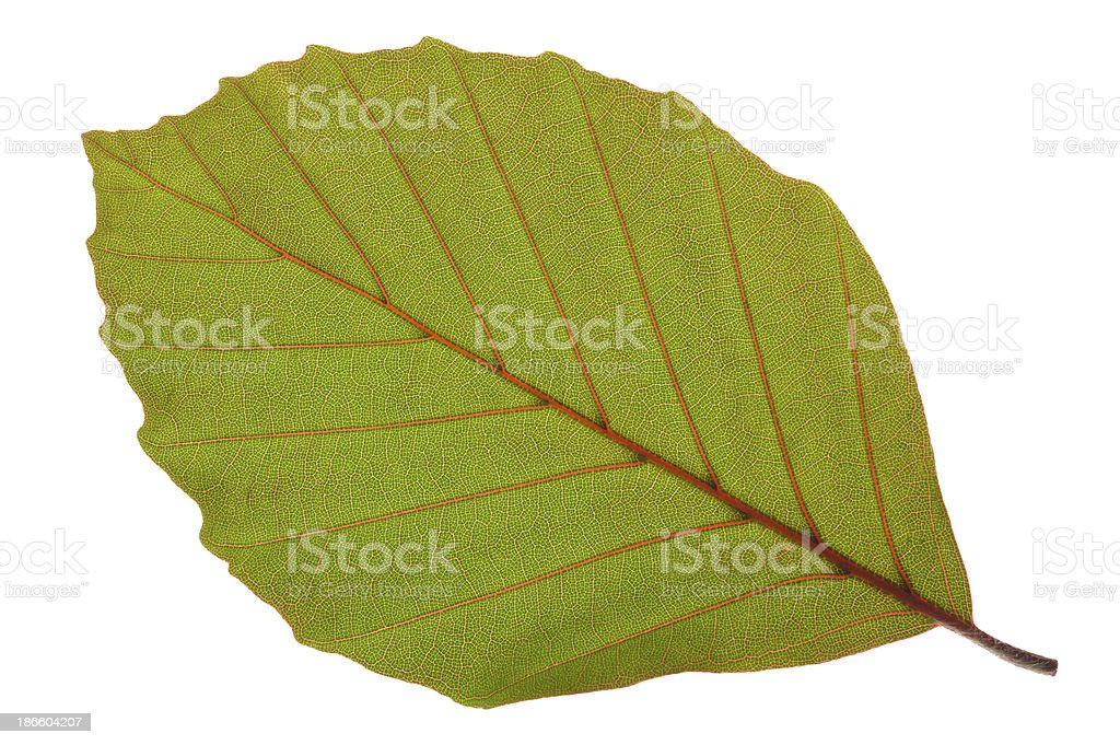 isolated beech leaf stock photo