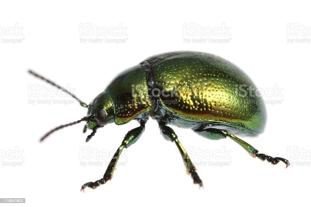 Isolated beetle (XXXL) royalty-free stock photo