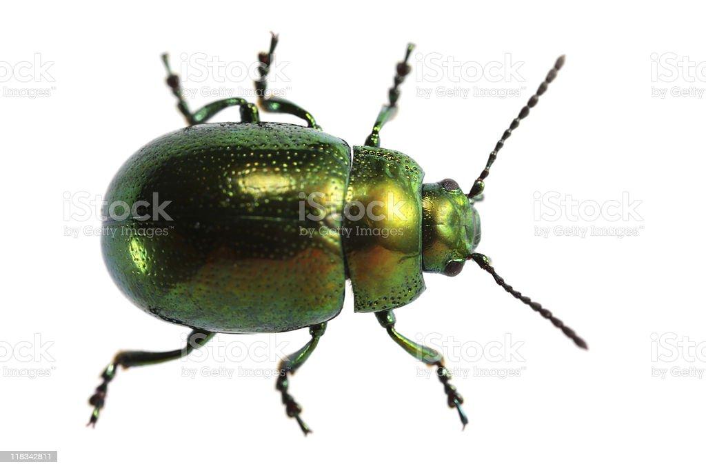 Isolated beetle (XXXL) royalty-free stock photo