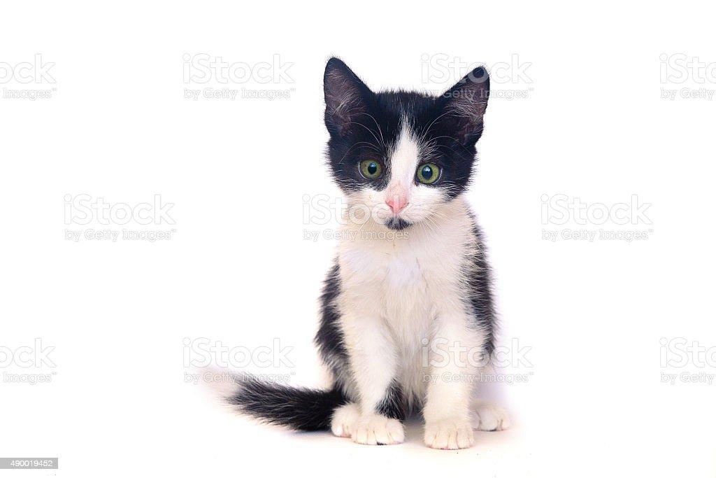 Isolated black and white kitten, cat stock photo