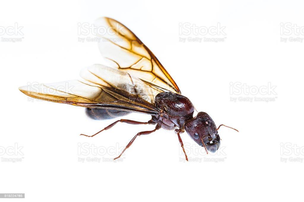 Isolated black queen ant stock photo