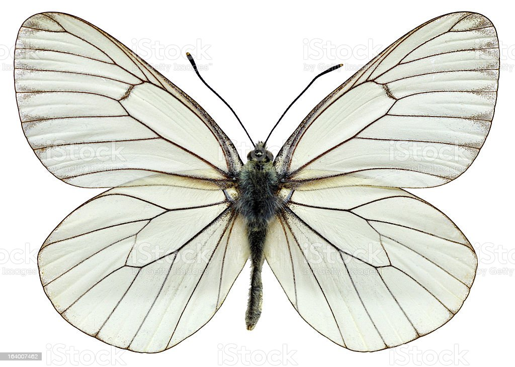Isolated Black-veined White butterfly royalty-free stock photo