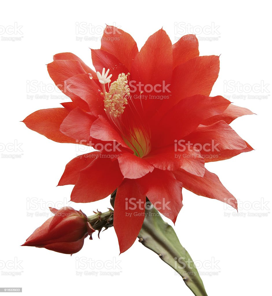 isolated blooming Orchid cactus royalty-free stock photo