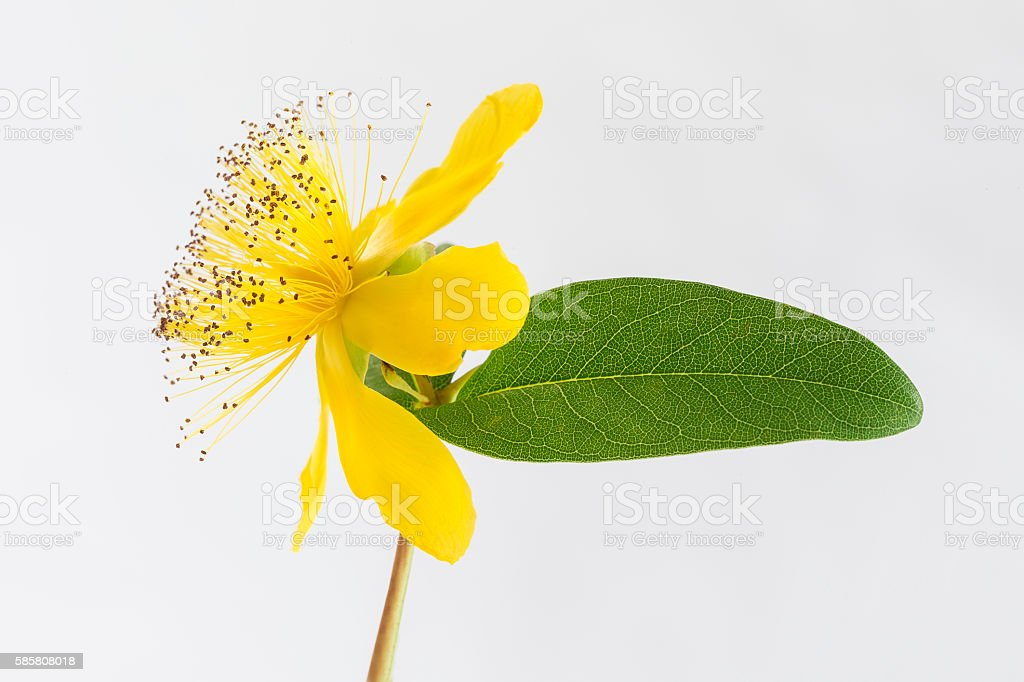 Isolated blossom of a hypericum flower stock photo