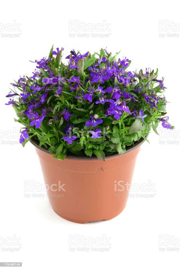 isolated blue Garden Lobelia (Lobelia erinus) stock photo